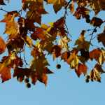 Top Places to Spot the Life Saving London Plane Tree